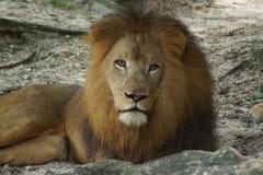 African Lion - Panthera leo Royalty Free Stock Image
