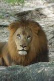 African Lion - Panthera leo Royalty Free Stock Photo