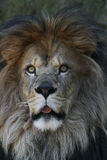 African Lion (Panthera Leo Krugeri). Wide Eyed Male African Lion With Tongue Sticking Out Royalty Free Stock Image