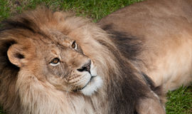 African Lion (Panthera leo krugeri) Looks Up Royalty Free Stock Image