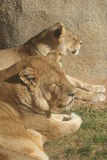 African Lion - Panthera leo Royalty Free Stock Images