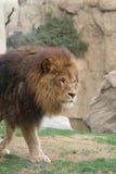 African Lion - Panthera leo Royalty Free Stock Photos