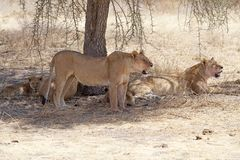 African lion (Panthera leo) Stock Photography
