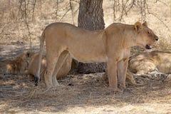 African lion (Panthera leo) Royalty Free Stock Image