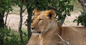 African Lion, panthera leo, Portrait of Female, Masai Mara Park in Kenya,. Real Time 4K stock video