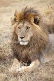 African lion (Panthera leo) Royalty Free Stock Photos
