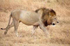 African lion (Panthera leo) Royalty Free Stock Photos