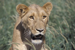 African lion, Panthera leo Royalty Free Stock Images