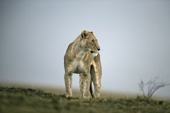 African lion,  Panthera leo Royalty Free Stock Photo