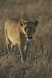 African lion,  Panthera leo Stock Photography