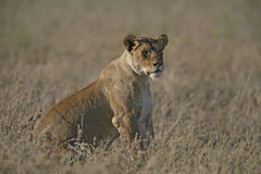 African lion,  Panthera leo Royalty Free Stock Photography