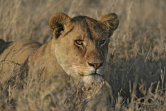 African lion,  Panthera leo Stock Image