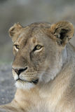 African lion,  Panthera leo Royalty Free Stock Image