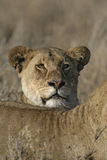 African lion,  Panthera leo Royalty Free Stock Photos