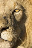 African Lion (Panthera leo) South Africa Royalty Free Stock Images