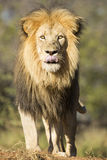 African Lion (Panthera leo) South Africa Stock Photography