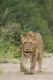 African Lion (Panthera leo) South Africa Stock Images