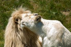 African Lion - Panthera leo. Two captive white African Lions share an intimate moment at the zoo. Toronto, Ontario, Canada Royalty Free Stock Photography