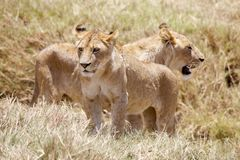 African lion (Panthera leo) Royalty Free Stock Photography