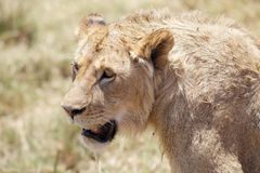 African lion (Panthera leo) Stock Photography