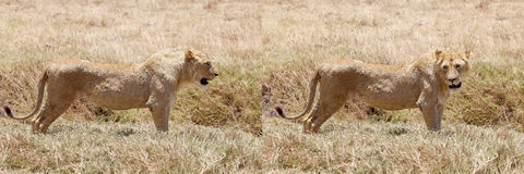 African lion (Panthera leo) Stock Photo