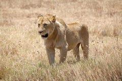 African lion (Panthera leo) Royalty Free Stock Photo