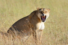 African lion in the Park South Africa Royalty Free Stock Images