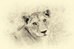 African lion in the Park South Africa. Vintage effect Royalty Free Stock Photography