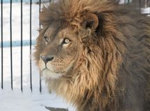 African lion in the pavilion of the Novosibirsk zoo. African lion head in the winter snow. Shaggy mane, yellow eyes. Novosibirsk zoo-attraction of the capital of stock photos