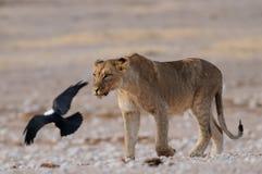 Lion with pied crow, etosha nationalpark, namibia. African lion with pied crow, etosha nationalpark, namibia, panthera leo Stock Images