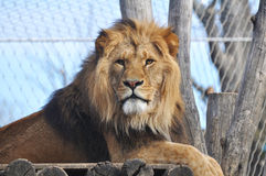 African Lion. Portrait of an African Lion Royalty Free Stock Photos