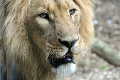 African Lion. Portrait of an African Lion Royalty Free Stock Image