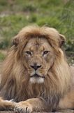 African lion portrait 4. A portrait of african lion with a scarred nose, proudly staring at the viewer Stock Image