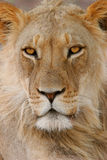African lion portrait. Full frame portrait of a young male African lion (Panthera leo), Kalahari, South Africa royalty free stock images