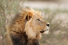 African lion portrait Stock Images