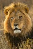 African Lion. Portrait of a Kalahari desert lion Royalty Free Stock Image