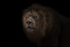 African Lion. Portrait of laying African Loin Royalty Free Stock Photography