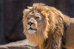 African Lion. Portrait of laying African Loin Royalty Free Stock Photos