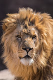 African Lion. Portrait of laying African Loin Stock Photos