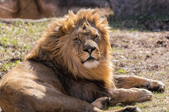 African Lion. Portrait of laying African Loin Stock Photo