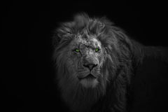 African Lion. Portrait of laying African Loin Stock Photography