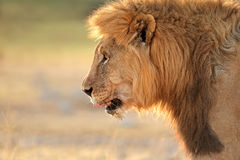 African lion portrait Royalty Free Stock Images