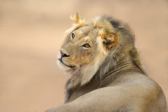 African lion portrait Stock Image