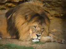 An African Lion poses for the camera in safari park. African Lion poses for the camera in Safari park .The African Lion is one of the big cats. Highly stock photo