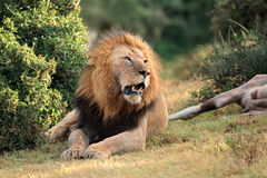 African lion with prey Royalty Free Stock Images