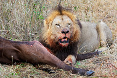 African lion with prey Royalty Free Stock Photos