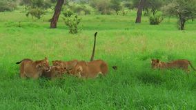 African lion pride greeting. An African lion pride greeting in the grass of the Tarangire National Park of Tanzania, Africa. Panthera Leo species stock video