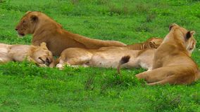 African lion pride in Ndutu. An African lion pride sitting in the grass of the Ndutu Area of Ngorongoro of Tanzania, Africa. Panthera Leo species stock footage