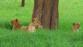 African lion pride. An African lion pride resting under a tree in the Tarangire National Park of Tanzania, Africa. Panthera Leo species stock video footage