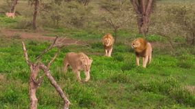 African lion pride. An African lion pride of two males and female in the grass of the Ngorongoro Conservation Area of Tanzania, Africa. Panthera Leo species stock footage